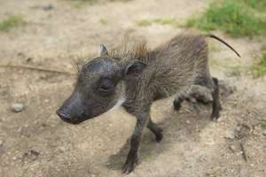 Provide food & care for our baby Warthog for 1year