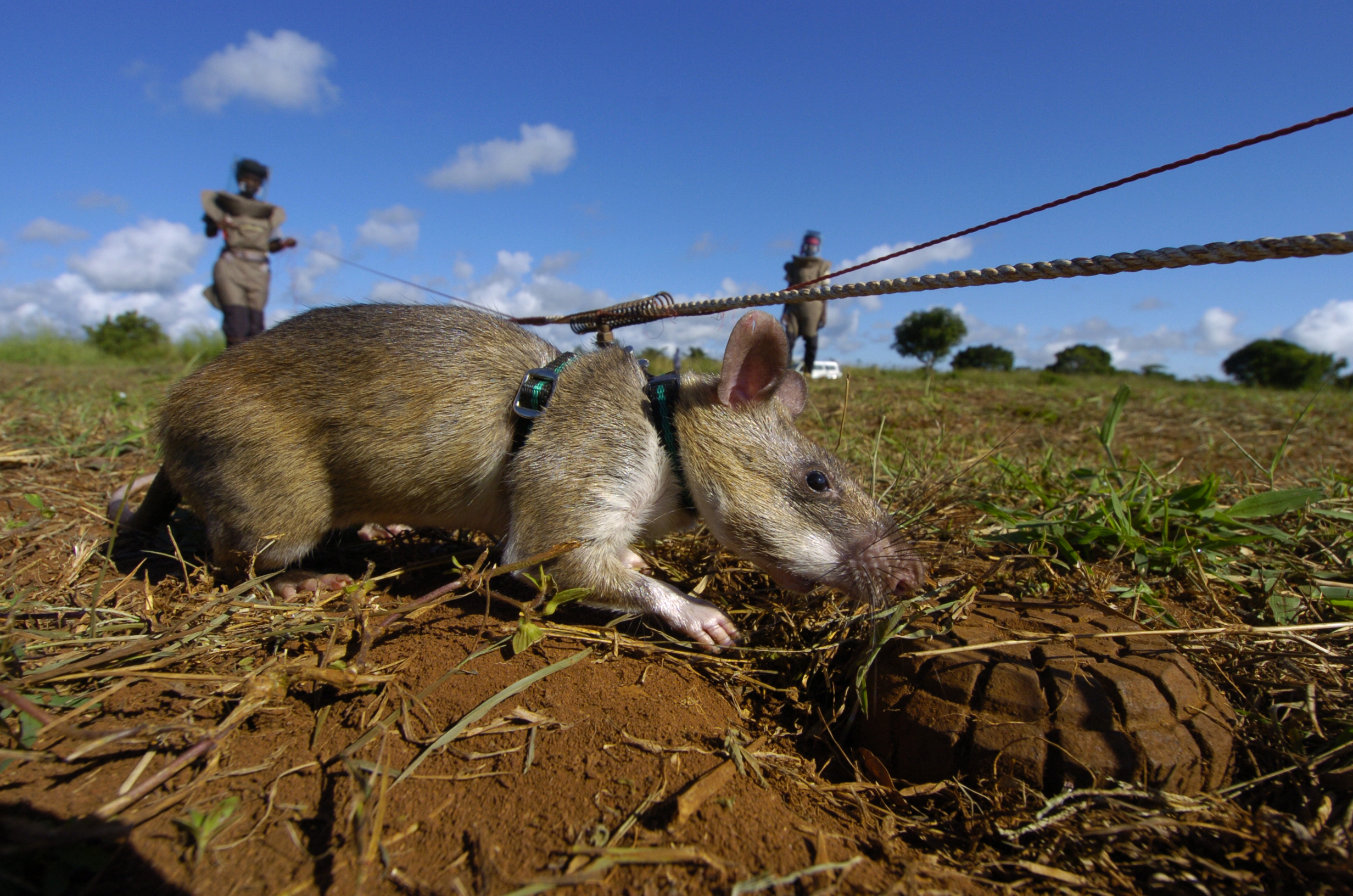 Herorats Sniffing Out Landmines And Tuberculosis