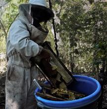 the bee boys harvesting honey for sale