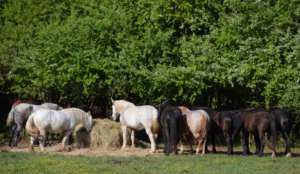 IGP Horses gathered at the Hay