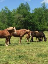 The Horses in New Pasture Grass