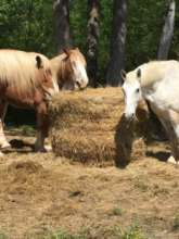 The Horses with Round Bale of Hay