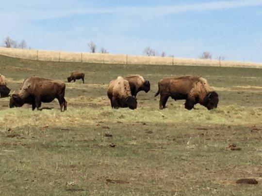 Buffalo on Fort Berthold