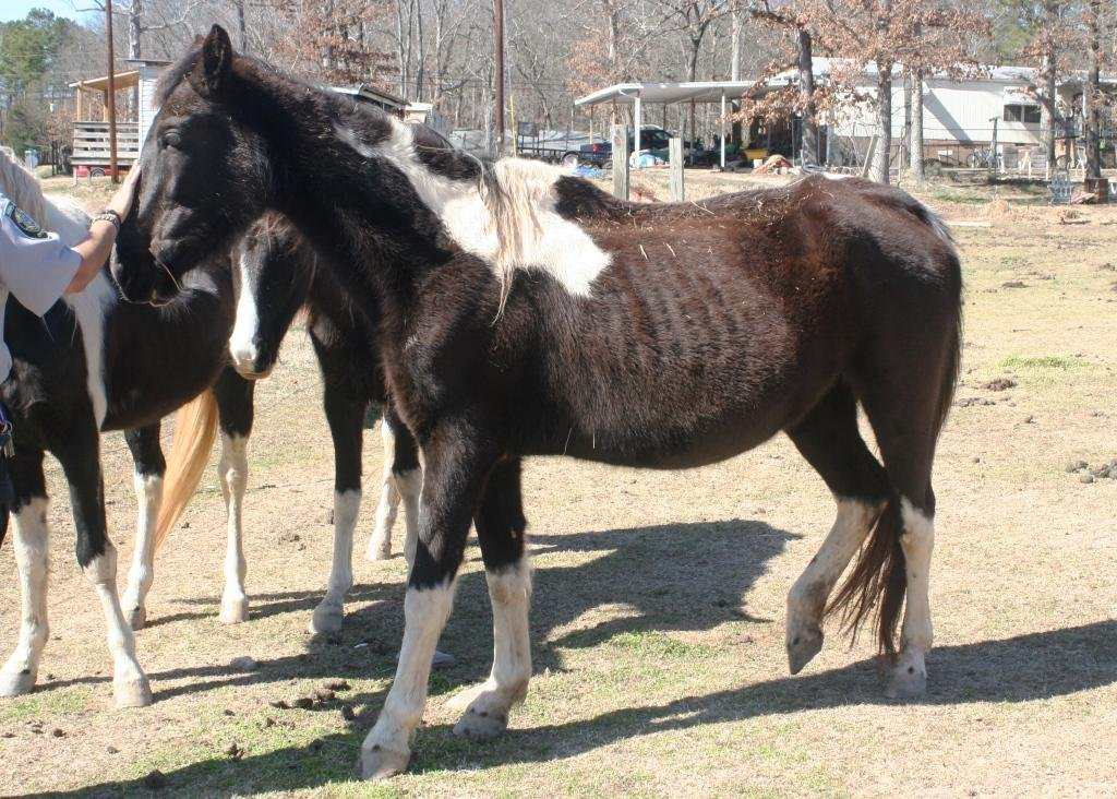 Heavily pregnant mare in poor condition.