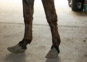 Close up of Cletus's overgrown hooves.