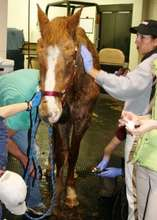 Vets and Techs clip and clean the numerous wounds.