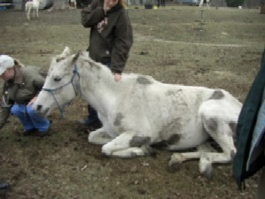 Pregnant mare on day of cruelty investigation