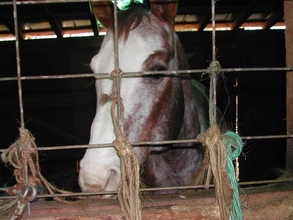 Randolph County Stallion prior to seizure.