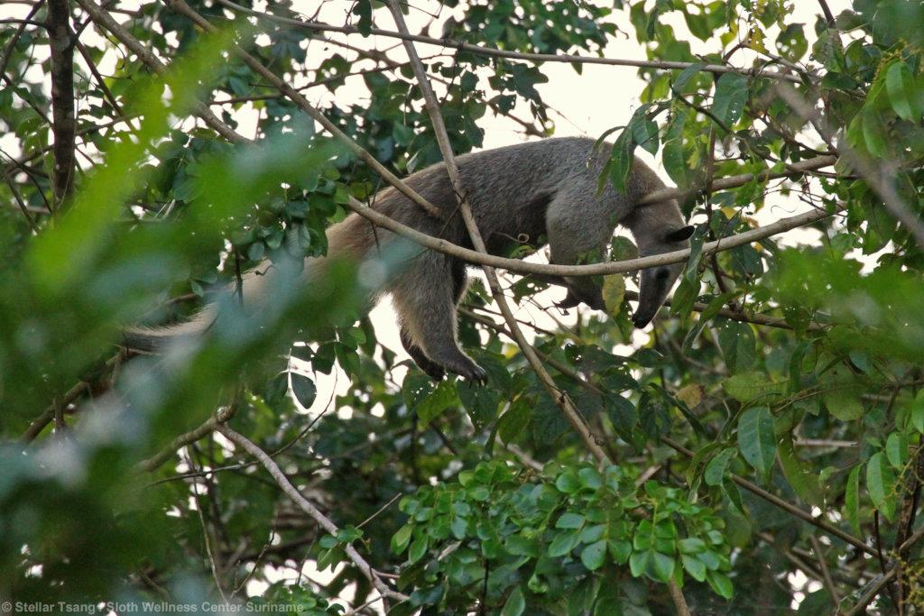 Sleeping Lesser anteater Johannes