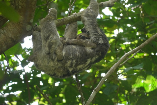 A baby sloth remains with its mom for 8 months