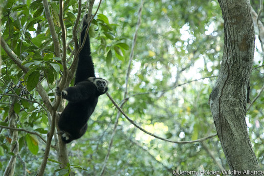 Gibbons roam free in Angkor once again!