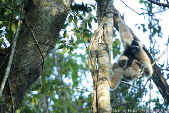 First pair of gibbons with their growing baby!