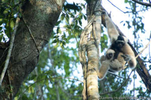 Gibbons stay with their parents until 7 years old