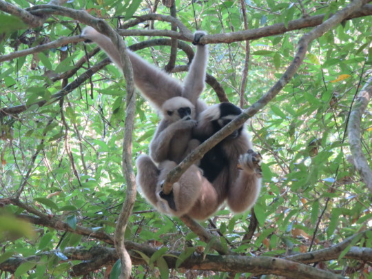 Gibbon mother, Saranik with her baby Spider