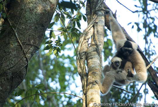 The Released Gibbons had a Baby