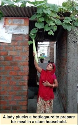 A lady plucks out a grown bottle guard