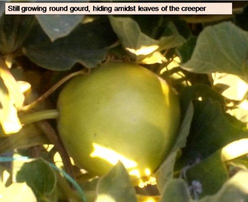 Still maturing round gourd, hiding amidst leaves