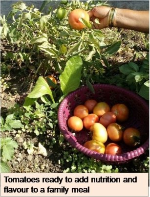 Tomatoes ready to add nutrition & Flavor to meal
