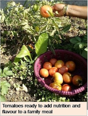 Tomatoes ready to add meal to nutrition