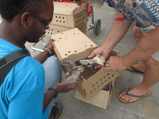 Ten Dozen Two-week old Chicks for Taveuni