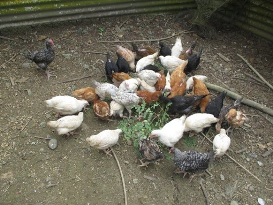 Chicks for Wairuarua just love morniga leaves