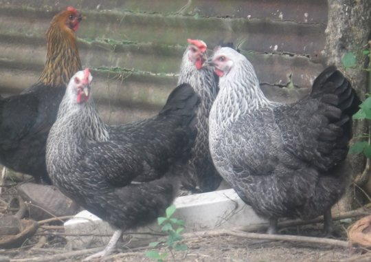 Salusalu Hens- Real Beauties