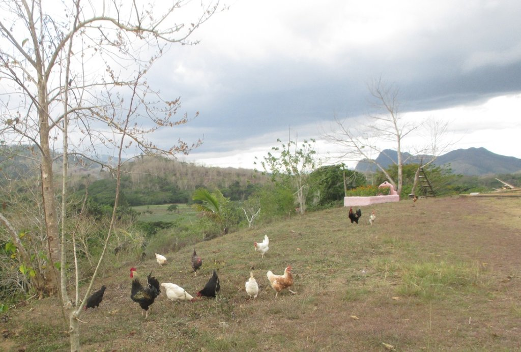 Happy chickens forging in the dry season