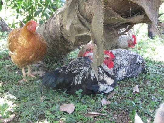 Happy Kabir chickens at three months!