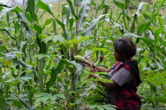Milisa in the cassava/corn inter-cropping garden