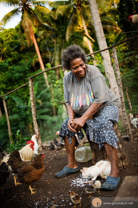 Village Chickens In Vanuatu before the Cyclone