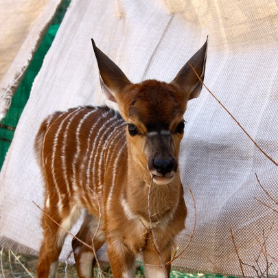 Our new baby Nyala Chancy!
