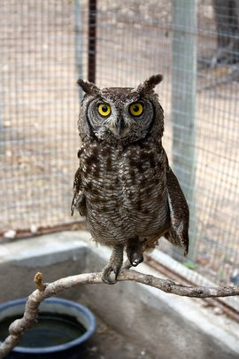 Our unnamed Spotted Eagle Owl!