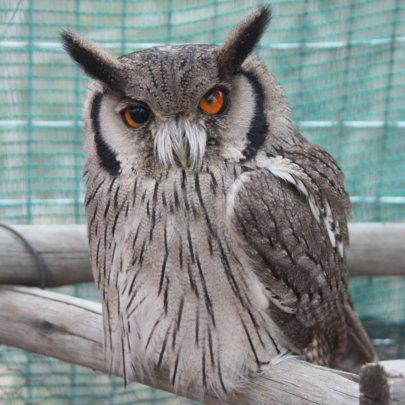 Nitro, the White-Faced Skops Owl