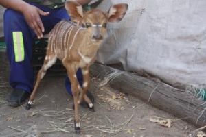 Little Poquita, the baby nyala