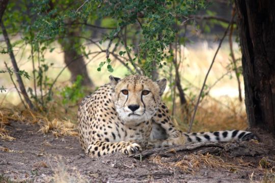 Sir Martin, our resident Cheetah