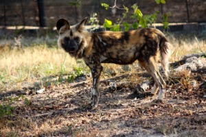 Dongo, our Wild Dog
