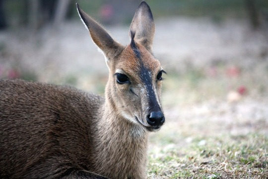 Mohola the duiker