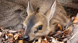 Baby Duiker in the bushes!