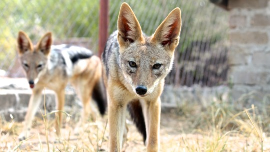 The beautiful Jackals we welcomed!