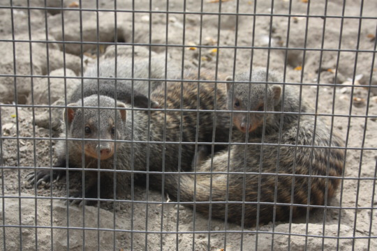 Three of our baby banded mongooses