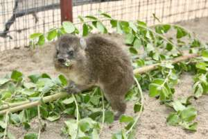Baby Dassie eating leaves