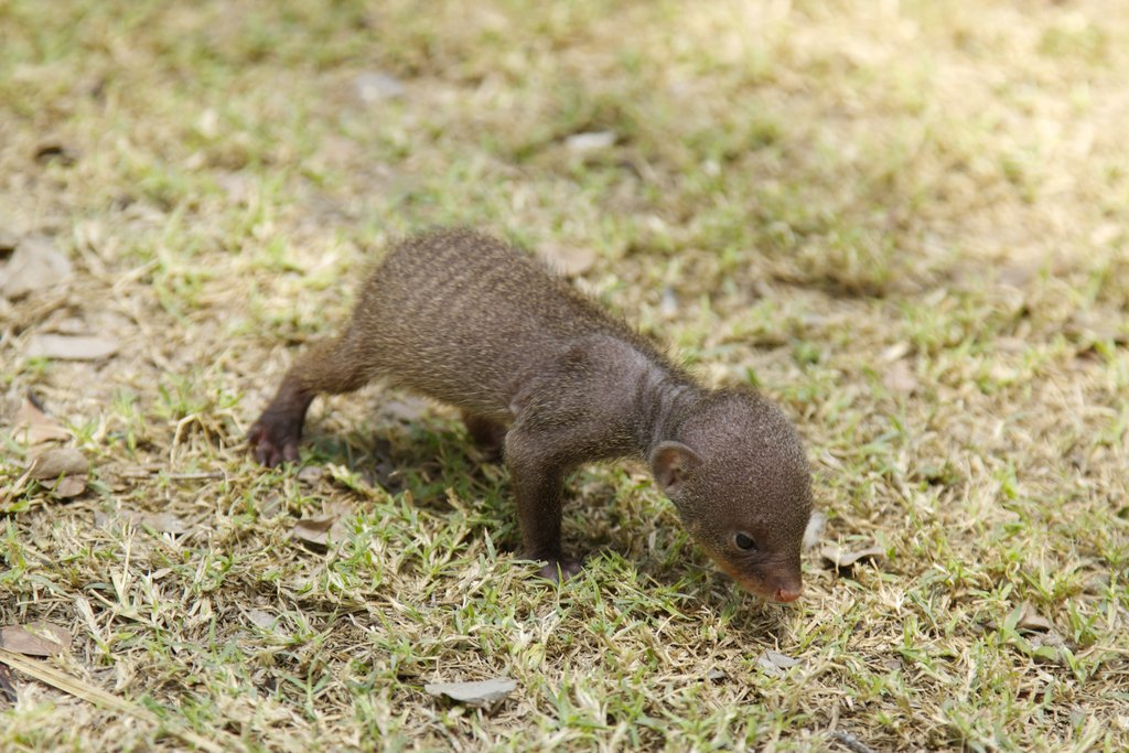 Help us raise our baby Mongoose for 1 year!