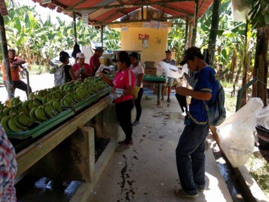 Farmers prepare bananas for packaging