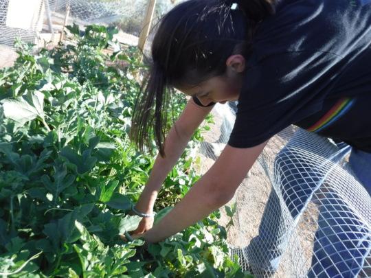 Ruth's Garden Watermelon