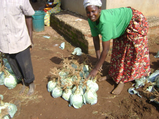 A widow harvesting her cabbage for sale