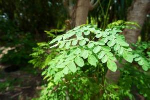 Moringa Olefeira leaves at Project Bona Fide
