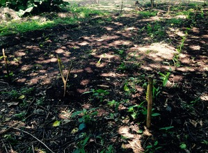 Turmeric is planted!