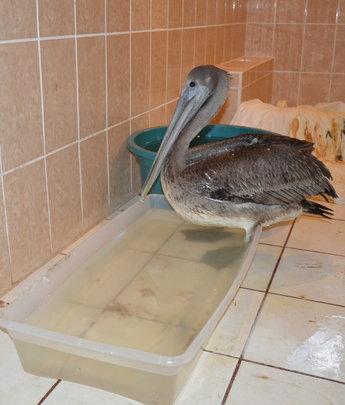 Bathroom Pelican