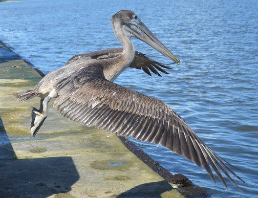 Released Pelican