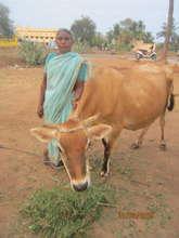 Kulandai Mary with her cow